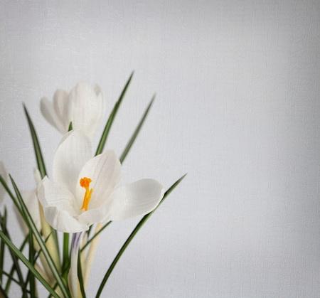 spring snowdrop flower photo