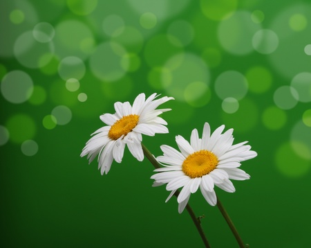 chamomile flower on green photo