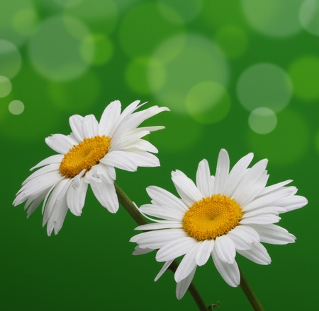 chamomile in green  photo