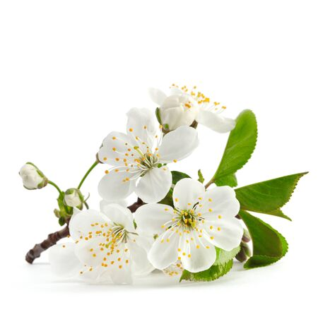 cherry twig in bloom isolated Stock Photo
