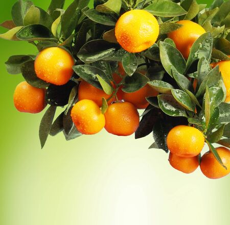 mandarin orange: orange branch Stock Photo