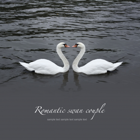 Romantic swan couple in black water photo