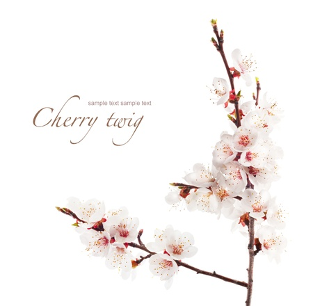 branch of cherry in bloom Stock Photo