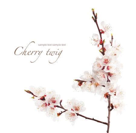 fleur de cerisier: branche de cerisier en fleur Banque d'images