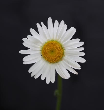 chamomile flower: chamomile flower on black  Stock Photo