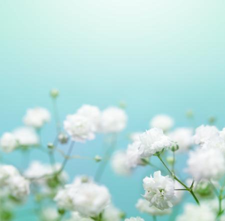 blue petals: White flower on blue Soft focus