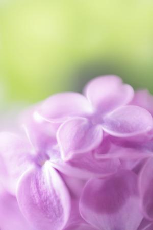 soft focus: Foco suave fondo de la flor lila Hecho con lente-beb� y macro-lente Foto de archivo