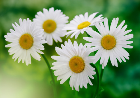 ox eye: white chamomile bouquet in nature