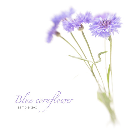 bluet: Blue cornflower  Soft focus  Made with lens-baby and macro-lens  Stock Photo