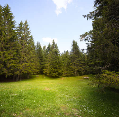 coniferous forest: Grass glade in spruce forest.