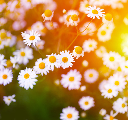 ox eye: Chamomile in green grass. Soft focus.