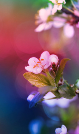 Nature background. Soft focus cherry twig in bloom. photo