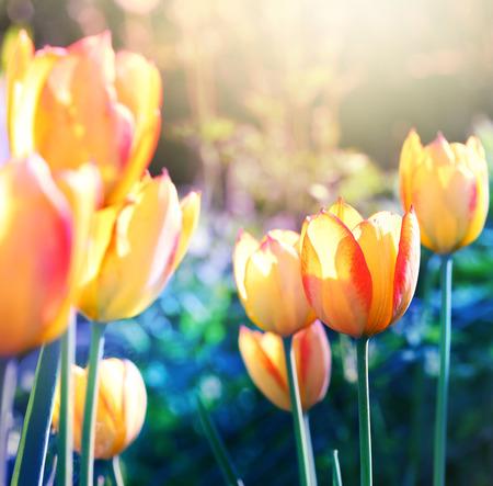 soft focus: La naturaleza de fondo. El enfoque suave flor de los tulipanes en flor.