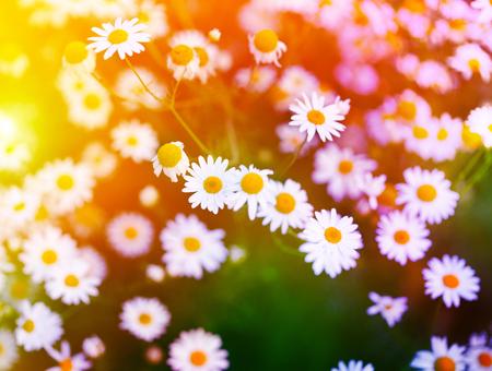 campo de flores: Manzanilla en la hierba verde. El enfoque suave.