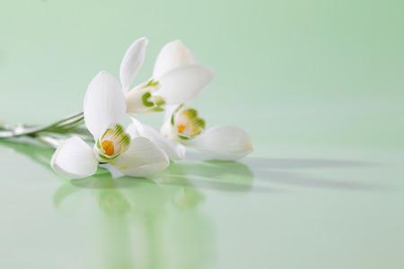 soft   focus: Spring snowdrop flower. Soft focus.
