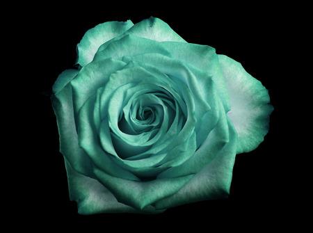 turquoise roos geïsoleerd op zwart Stockfoto