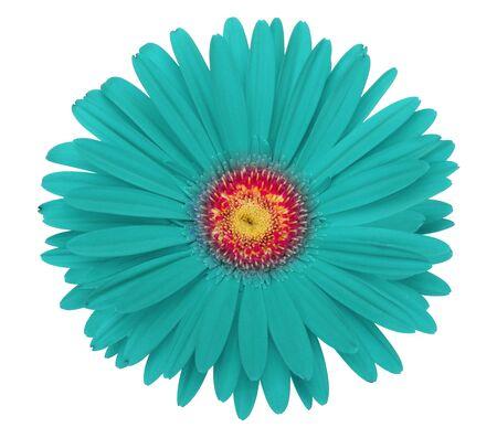 blue daisy: turquoise gerbera flower