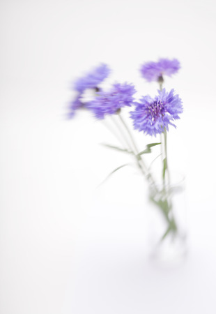 soft   focus: Blue cornflower. Soft focus. Made with lens-baby and macro-lens.