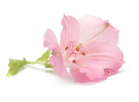 pink lily: pink lily flower isolated on white Stock Photo