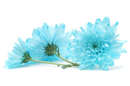 blue petals: blue chrysanthemum flower on white Stock Photo