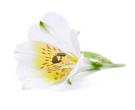 lirio blanco: flor de lirio blanco aislado en blanco
