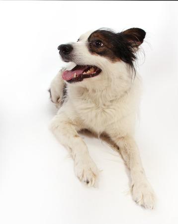 mongrel: mongrel dog on white Stock Photo