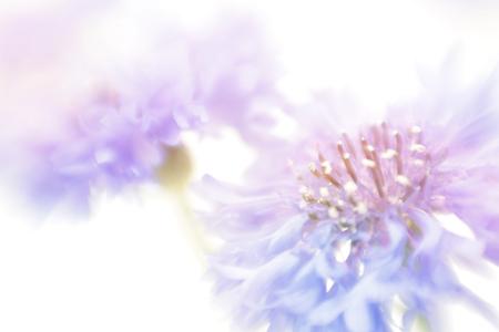 Soft focus korenbloem achtergrond met een kopie ruimte. Gemaakt met lens-baby en macro-lens. Stockfoto