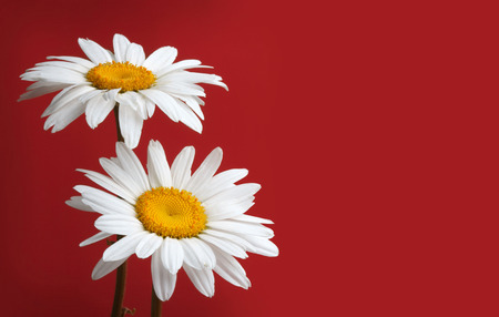 red flower: white chamomiles flower on red