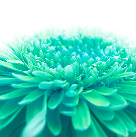 azul turqueza: Fondo suave flor foco con copia espacio. Hecho con macro-lente.