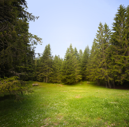 spruce: Grass glade in spruce forest.