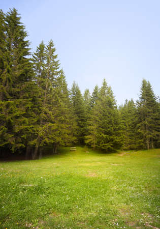 pinetree: Grass glade in spruce forest.