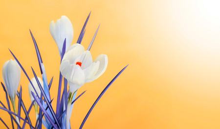 yellow stem: spring crocus flower bouquet on yellow Stock Photo