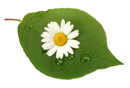 Green leaf with chamomile and drops on white background