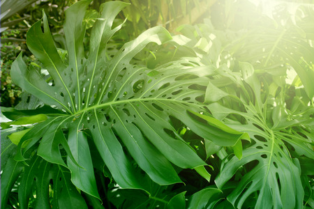 Forest with tropical monstera plants. Nature green background.