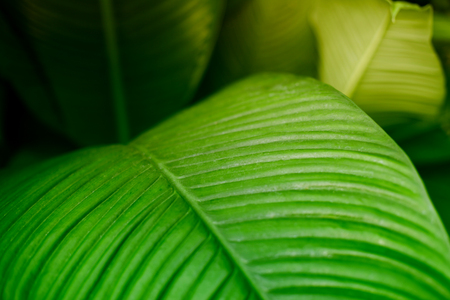 Green tropical leaves. Nature background. Soft focus. Foto de archivo