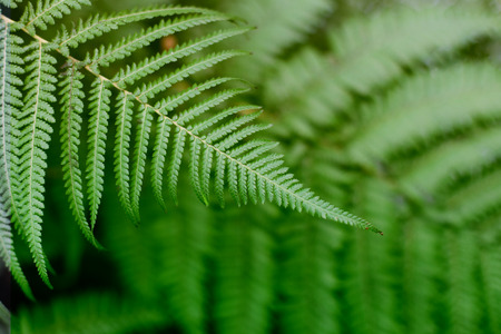 Fern green leaves in tropical forest plants. Nature green background. Soft focus. Stock Photo