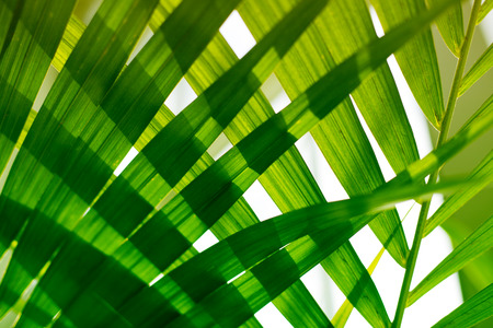 Palm leaves. Tropical plants. Nature green background. Stock Photo - 120322148