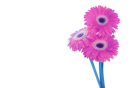 Pink magenta gerbera flower isolated on white background