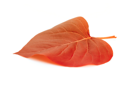 Red leaf on white background.