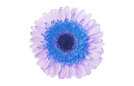 Blue and lilac gerbera flower on white.