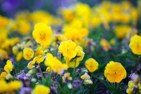 Yellow Pansis flower in garden. Soft focus nature Background. Zdjęcie Seryjne