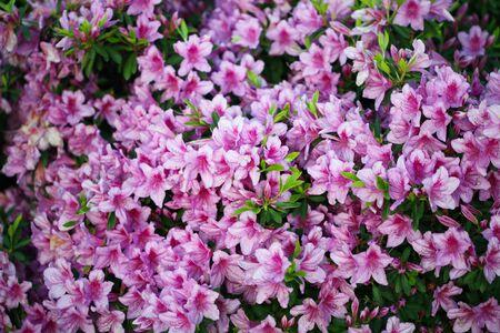 Flower bouquet with leaf.  Nature background. Pink (lilac) color. Foto de archivo - 137891591