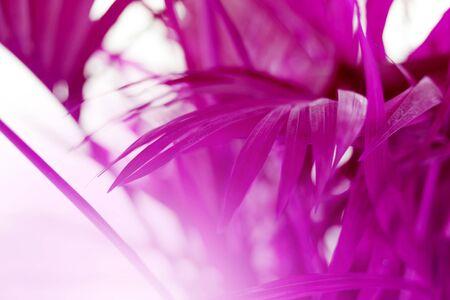 Soft focus. Nature blur violet background. Palm leaf. Tropical plants.