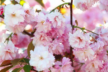 Ramo de flores de primavera con hojas. Enfoque suave. Fondo de desenfoque de naturaleza. Color rosa (lila). Foto de archivo