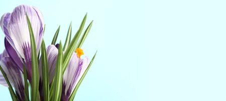 Spring Snowdrop Crocus flowers. Nature background. Horizontall long banner.