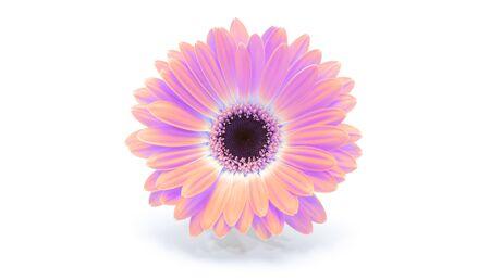 Saturation luminosity color. Gerbera flower on white background.  Foto de archivo