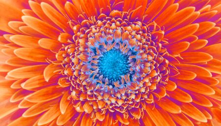 Saturation luminosity color. Gerbera flower closeup horizontal background. Foto de archivo - 150128459