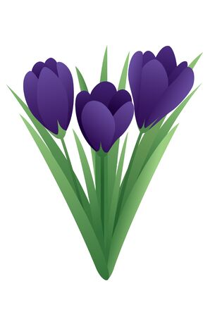 crocus: Vector image of a spring flower - crocus Illustration