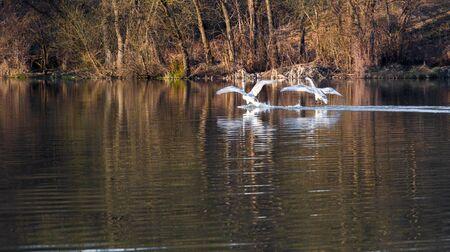 Veel zwanen, wit en jong, in de lente op het meer Stockfoto