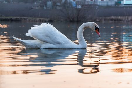 Many swans, white and young, in the spring on the lake